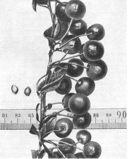О вишне Щедрой: описание и характеристики сорта, уход и выращивание