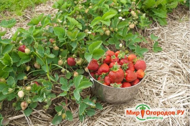 Все о выращивании ремонтантной клубники в открытом грунте: посадка и уход