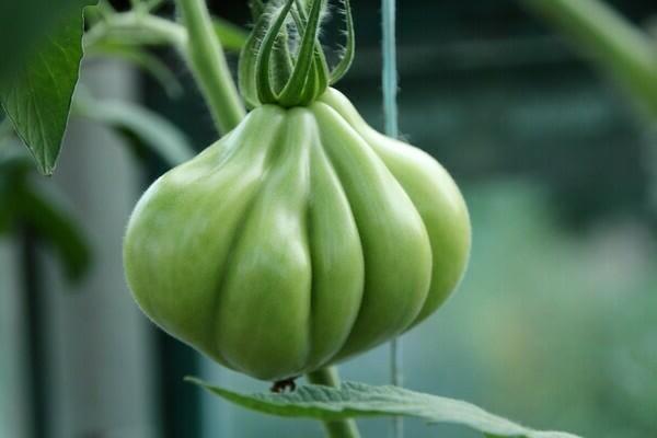 Пузата хата: описание сорта томата, характеристики помидоров, посев