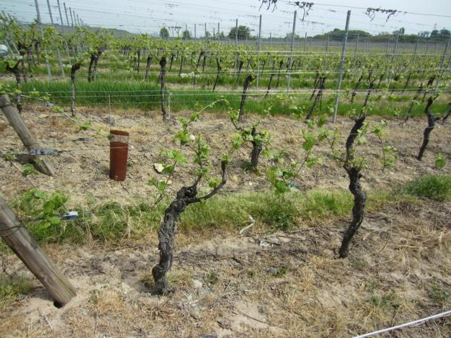 Сорт винограда Бианка: описание сорта, особенности разведения и ухода