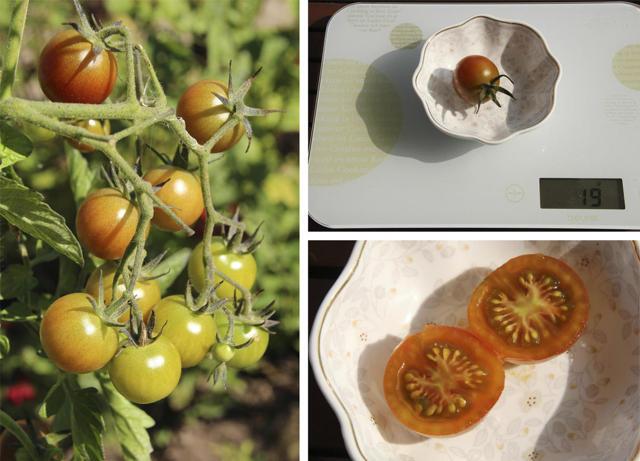 Вишенка черная: описание сорта томата, характеристики помидоров, посев