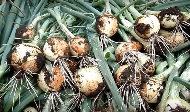 Все о сорте лука Геркулес: посадка и уход, особенности выращивания, урожайность