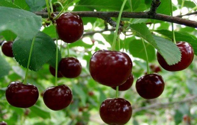О правильной посадке вишни весной в Сибири, как посадить, ухаживать