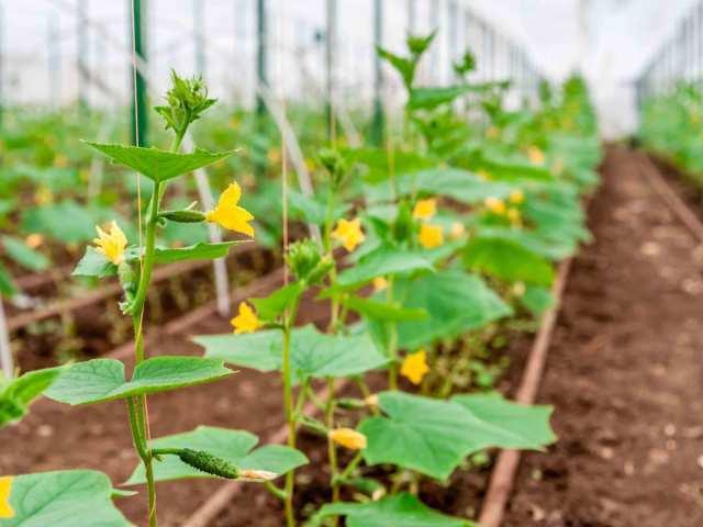 Об огурце Седрик: описание сорта, характеристики, технология выращивания