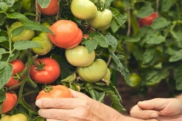 Лирика: описание сорта томата, характеристики помидоров, выращивание