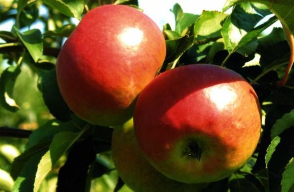 О яблоне Жигулевское: описание сорта, характеристики, агротехника, выращивание