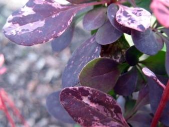 О барбарисе Тунберга Роуз Глоу: описание и характеристики сорта, уход
