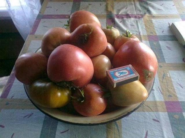 Сенсей: описание сорта томата, характеристики помидоров, выращивание
