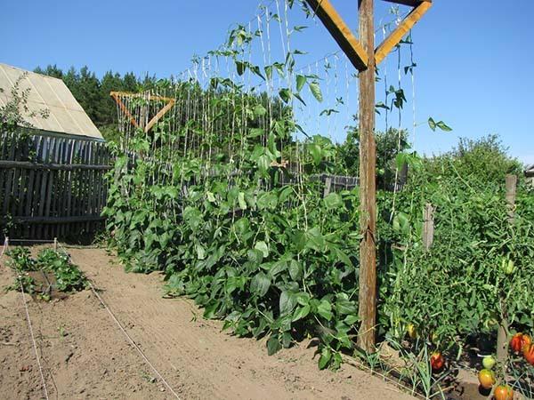Посадка спаржевой фасоли в открытый грунт: как правильно выращивать и ухаживать