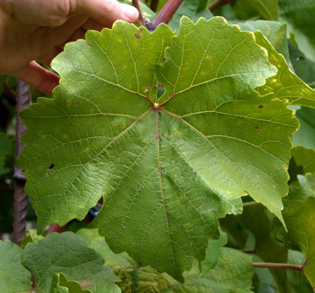 Описание сорта винограда Платовский, общие характеристики и особенности ухода
