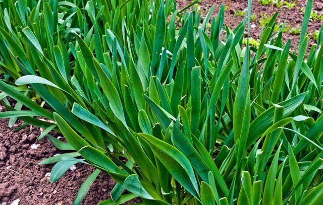 Все о выращивании лука Слизуна: посев и уход за растением, условия для роста