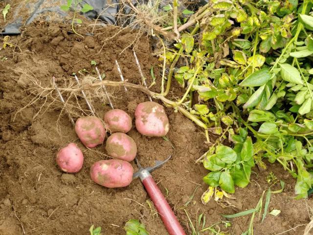 Мерлот: описание семенного сорта картофеля, характеристики, агротехника