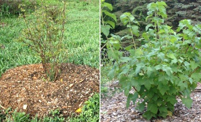 Выращивание смородины черной: как получить хороший урожай на даче