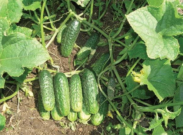 О сортах огурцов для теплицы: какой самый хороший, урожайный, как сажать