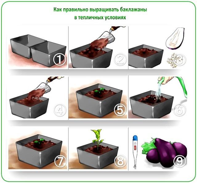 О посадке баклажанов в открытый грунт семенами: можно ли сажать по два в одну лунку
