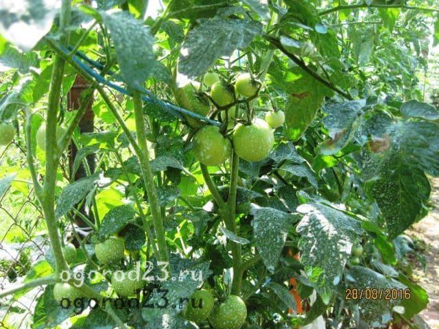 Яблонька России: описание сорта томата, характеристики помидоров, посев