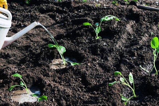 О капусте Валентина: описание и характеристика позднего белокочанного сорта