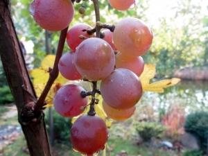 Описание сорта винограда Лидия, отличительные особенности, достоинства и вредные свойства