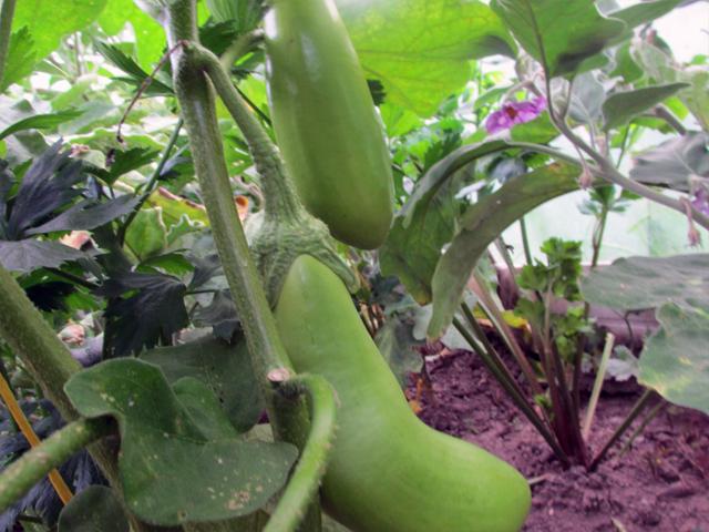 Выращивание баклажанов в открытом грунте в Подмосковье: посадка и уход