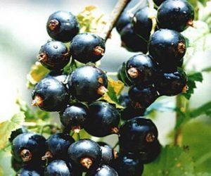 Смородина Перун: описание и характеристики сорта, уход и выращивание