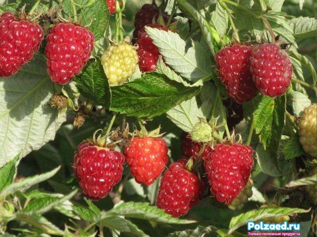 Подкормка малины ранней весной: минеральные и органические удобрения