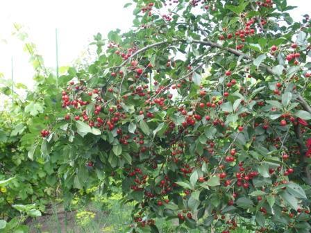 О вишне Норд Стар: описание и характеристики сорта, уход и выращивание