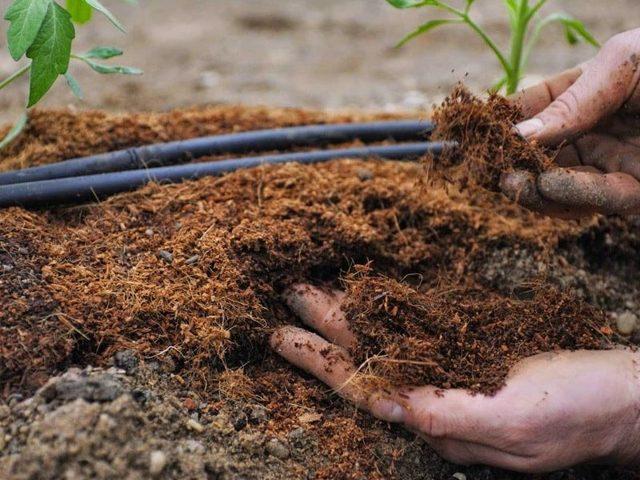 Смородина Велой: описание и характеристики сорта, уход и выращивание