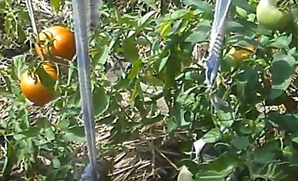 Полбиг: описание сорта томата, характеристики помидоров, выращивание