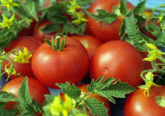 Прохор: описание сорта томата, характеристики помидоров, выращивание