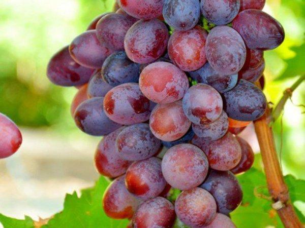 Описание сорта винограда Кодрянка, характеристика, посадка и уход