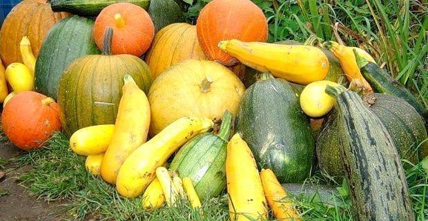 О совместной посадке тыквы с кабачками: с какими овощами можно посадить