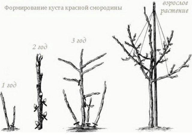 Смородина на штамбе красная и черная: посадка, выращивание, уход