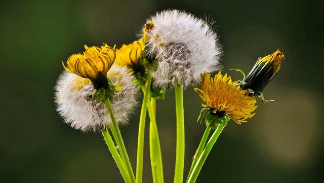Сравнить рукколу флауэрс и одуванчик: в чем разница, описание растений