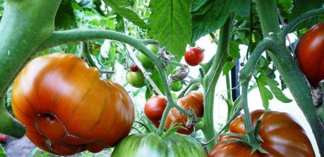 Арбузный: описание сорта томата, характеристики помидоров, выращивание