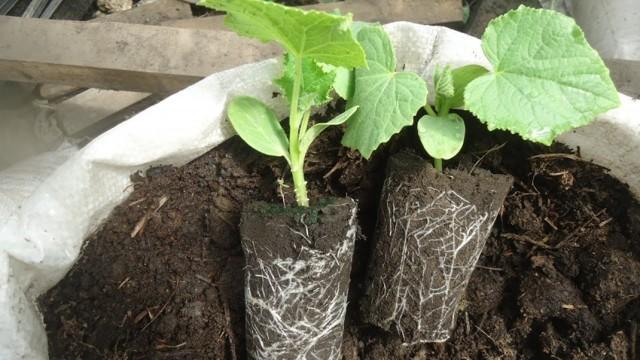 О выращивании огурцов в мешках: пошаговая инструкция, как правильно сажать