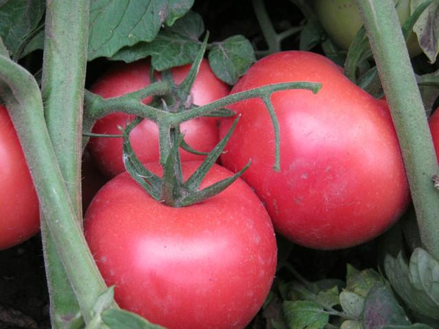 Пинк Буш: описание сорта томата, характеристики помидоров, посев