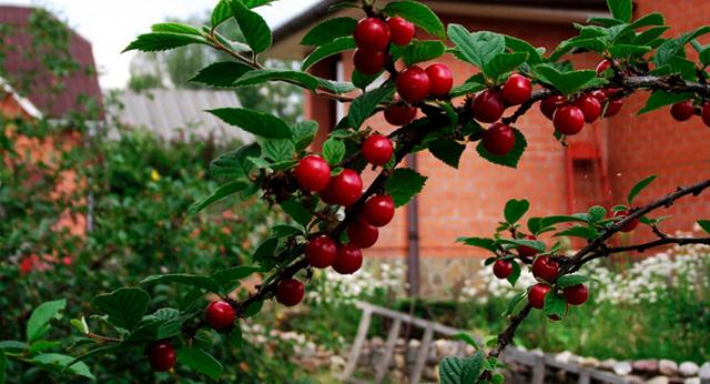 Как выращивать вишню на даче, можно ли черенковать войлочную вишню весной