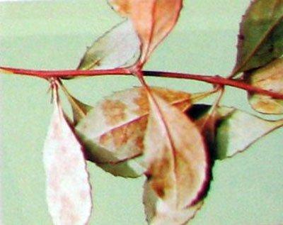 Посадка барбариса и уход: выращивание, борьба с вредителями и болезнями