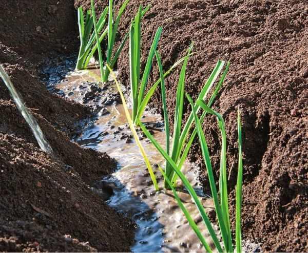 Как вырастить лук порей: посев и уход, условия для хорошего роста