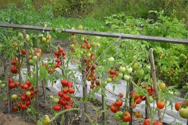 Палка: описание сорта томата, характеристики помидоров, посев