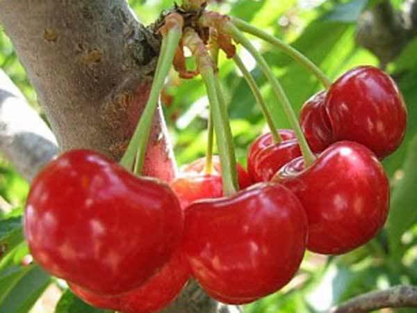 О вишне багряной: описание и характеристики сорта, уход и выращивание