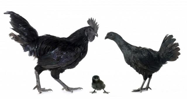О породах черного и черно белого петуха (петух индонезийский), какие бывают виды