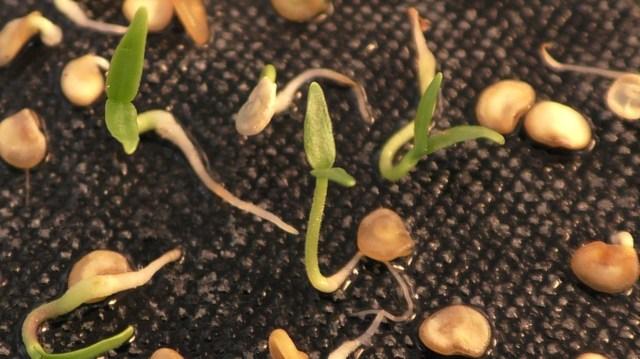 Гигант: описание сорта томата, характеристики помидоров, посев