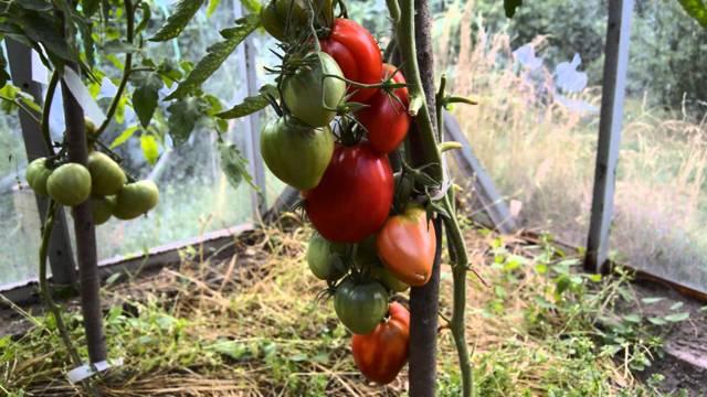 О томате Мазарини: описание и характеристики сорта, уход и выращивание