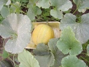 О посадки дыни на рассаду: правила посева и выращивания в домашних условиях