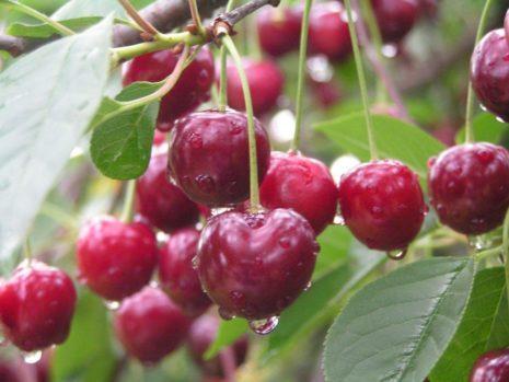 О вишне Волочаевке: описание и характеристика сорта, уход, опыляемость