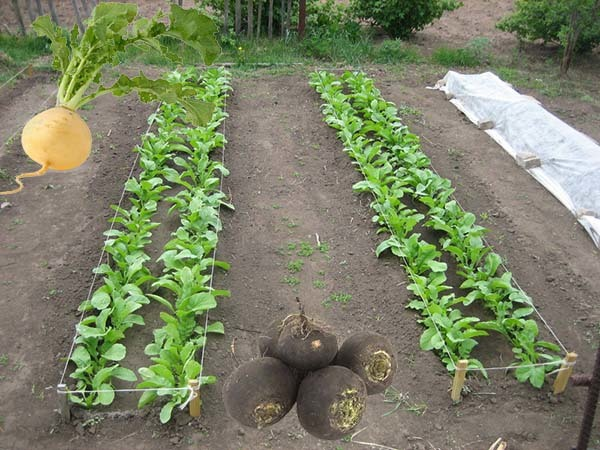 Когда и как сажать редьку в открытый грунт семенами, как сеять семена