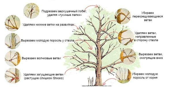О яблоне Эрли Женева: описание сорта, характеристики, агротехника, выращивание