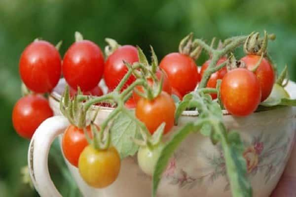 Мадейра: описание сорта томата, характеристики помидоров, выращивание