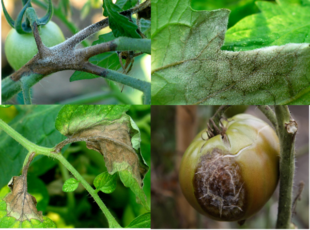 Болезни помидоров в теплице, вредители томатов, как бороться и лечить